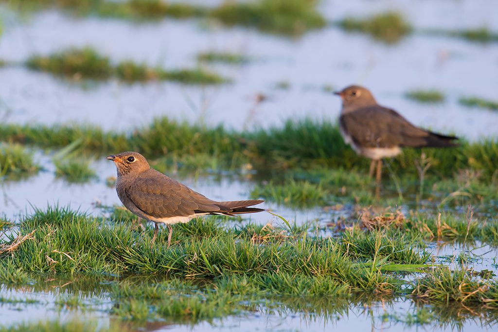 Oriental Pratincole at sod farm S of Pudong Airport, Sat. 3 Sept. 2016.
