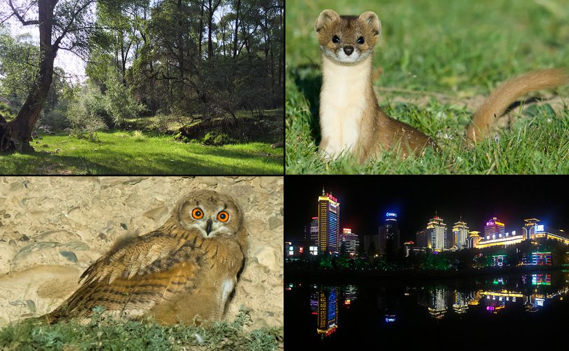 Highlights from weeks 5 & 6 of the Qinghai 2016 Expedition: riverside forests in Qilian Xiancheng, Mountain Weasel, Eurasian Eagle-Owl, and the neon lights of Xining.