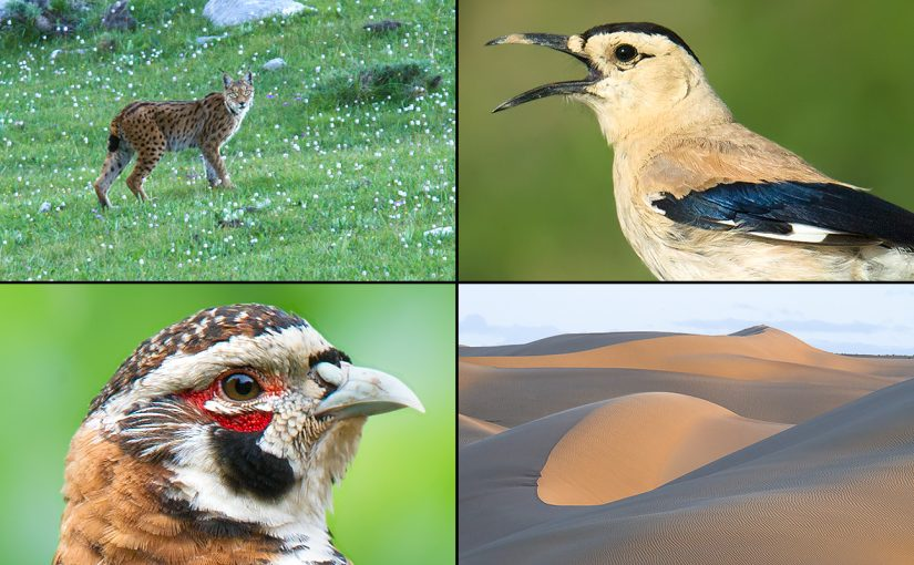 Highlights from our summer in Qinghai, 2016. Clockwise from top L: Tibetan Lynx, Henderson's Ground Jay, dunes in Wulan County, and Tibetan Partridge. Craig Brelsford.