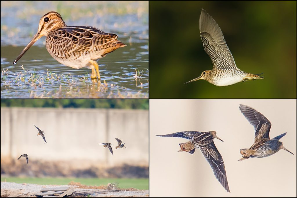 Pin-tailed/Swinhoe's Snipe, sod farm S of Pudong Airport, Saturday. The shorter bill, dark underwings, and faint trailing edge to wing clearly distinguish these from Common Snipe. But to go beyond 'Swintail' requires skills beyond my ken.