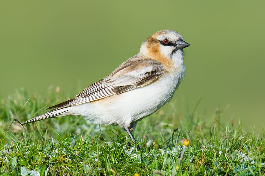 This Rufous-necked Snowfinch shows the distinctive head pattern of the species, with black eye-line and submoustachial stripe, white throat, and reddish band on neck-sides. Pyrgilauda ruficollis is a common species of the Tibetan Plateau, with a range nearly perfectly coterminous with the Rooftop of the World. I took this photo 29 June 2016 near Heimahe at an elevation of 3480 m.