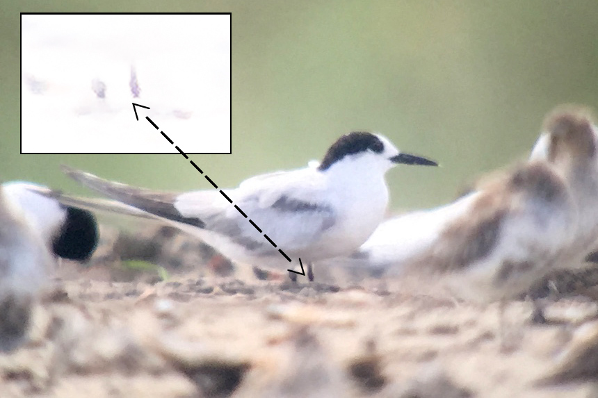One of the three Common Tern at the roost that contained Nordmann's Greenshank. I massively overexposed the legs (inset) to reveal the red color and nail the ID of Common. Photo by Hiko for shanghaibirding.com.