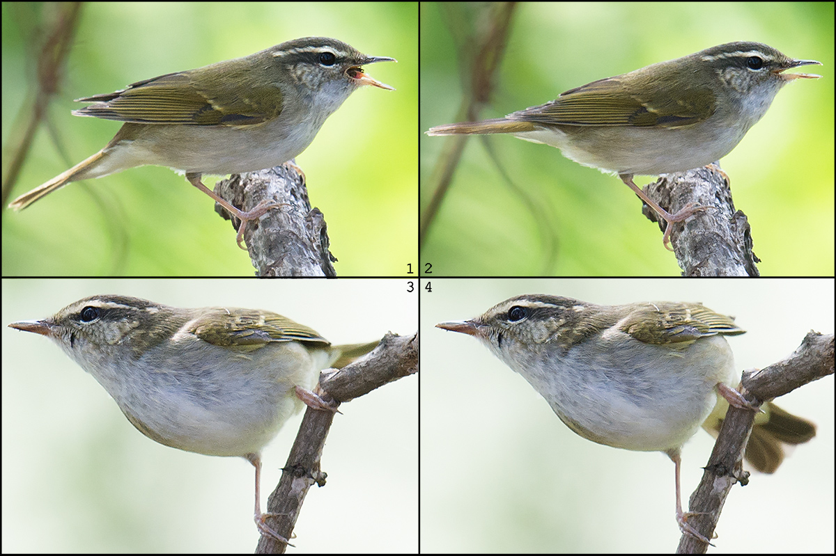 The tail of Pale-legged/Sakhalin Leaf Warbler pumps independently of other muscular actions.