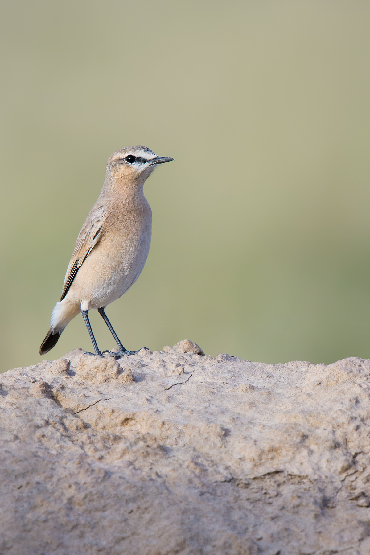 Isabelline Wheatear are abundant in the semi-deserts of Wulan County. 18 Aug. 2016.