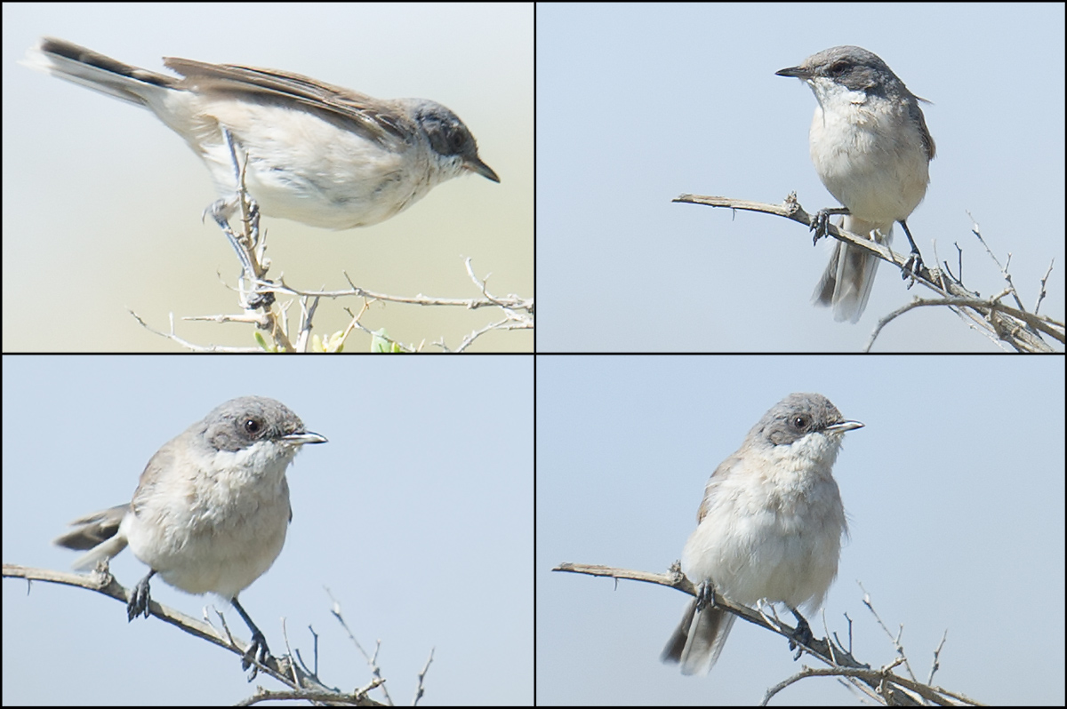 Desert Whitethroat