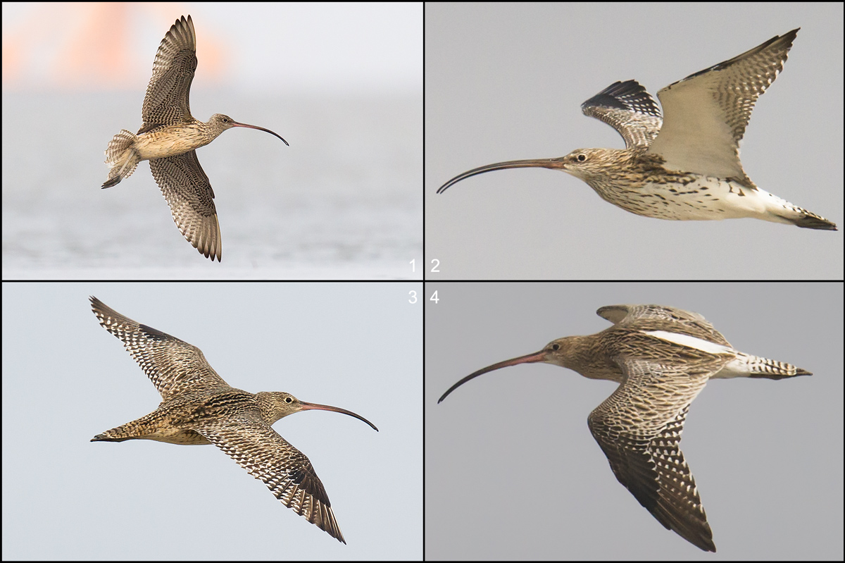 Comparison of Far Eastern Curlew and Eurasian Curlew.