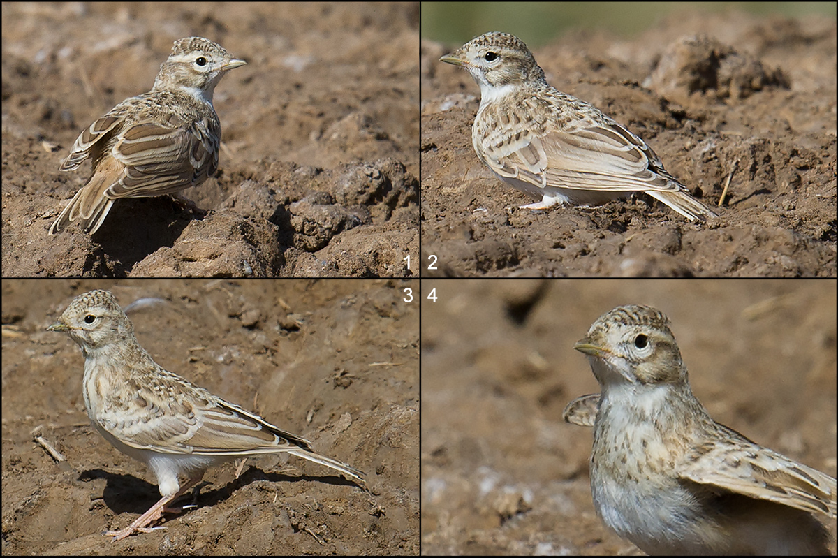 Asian Short-toed Lark, in semi-desert near Jinzi Lake, Wulan County, 19 Aug. 2016. The four panels show a single individual, a juvenile. Note the stubby bill, the noticeable extension of the primaries beyond the short tertials (Panel 2), and the streaked breast (4). Hume's Short-toed Lark and Greater Short-toed Lark show tertials overlapping the primary tips, and neither has streaking across the breast.