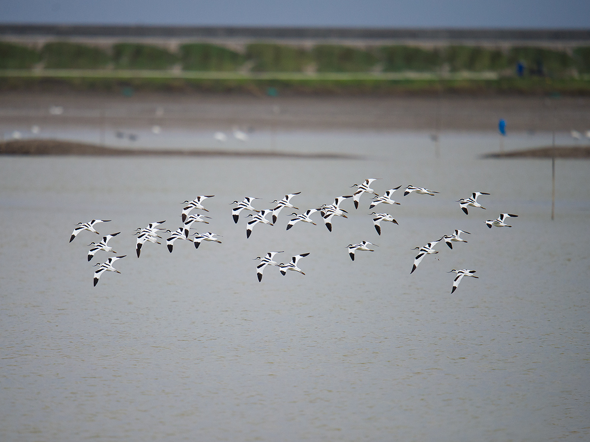 A rather harried flock of Pied Avocet fly over the defunct wetland at Nanhui, 9 Nov. 2016. The avocets were often interrupting their feeding and resting to make a circular flight before settling back down at more or less the same location.