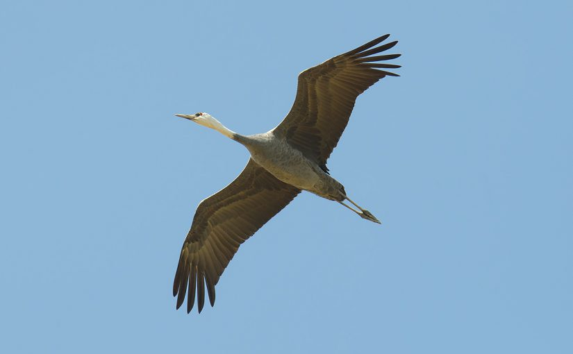 Hooded Crane, 12 Nov. 2016. First record for mainland Shanghai. Sighted by Elaine Du, Michael Grunwell, and Craig Brelsford.