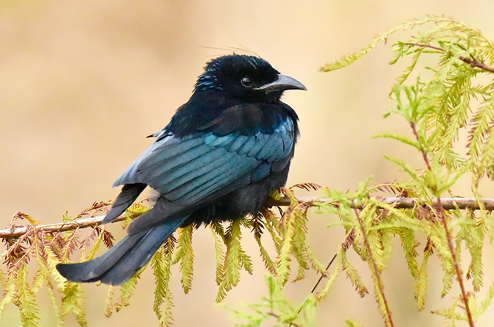 Hair-crested Drongo is an uncommon passage migrant in Shanghai. Photo by Mike May.