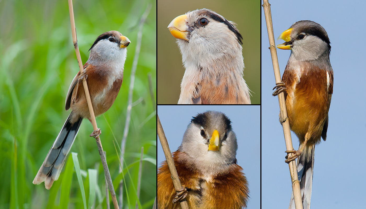 Reed Parrotbill. Far left: Yangkou, Rudong, Jiangsu, May 2010. Upper middle: Yangkou, October 2010. Bottom middle and far right: Nanhui, Shanghai, May 2016.