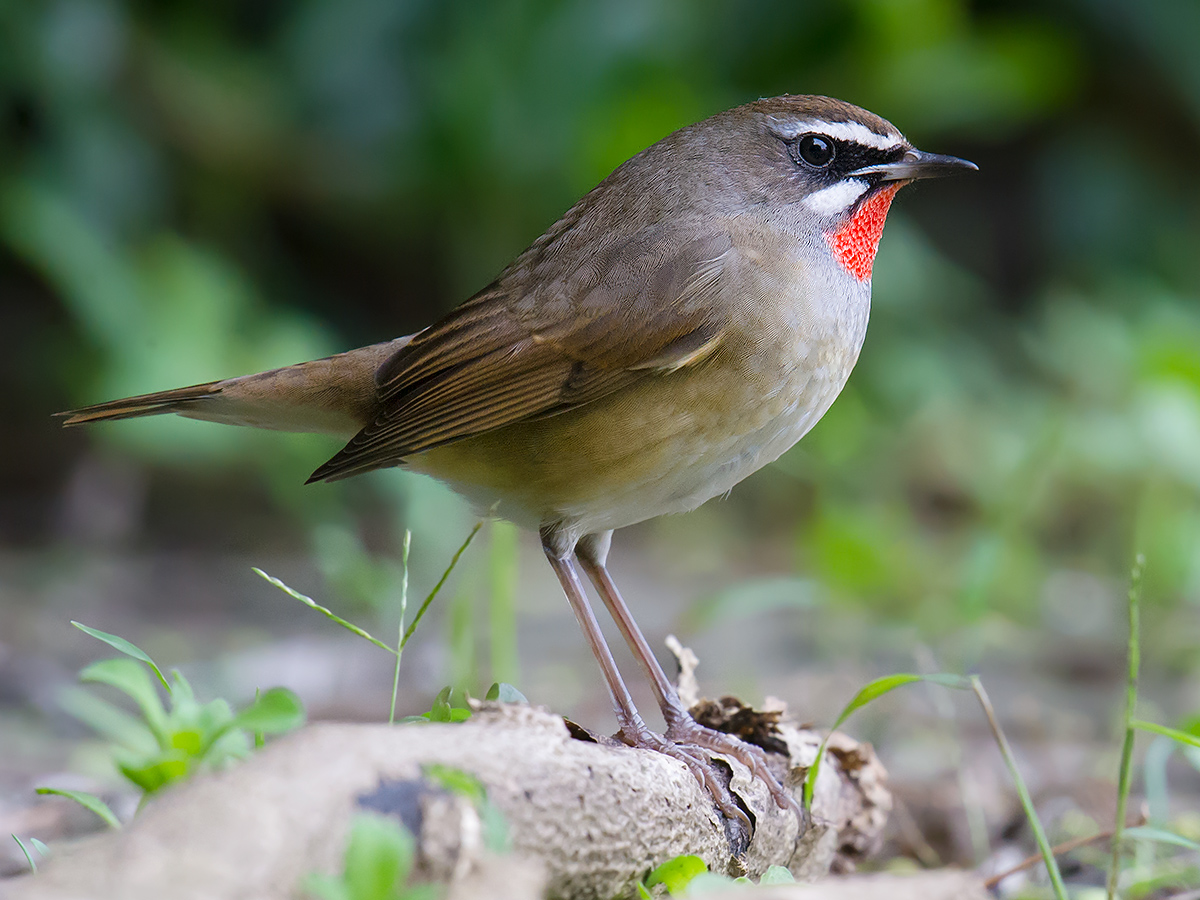 Siberian Rubythroat, Magic Parking Lot, Nanhui. 29 Oct. 2016. Craig Brelsford.