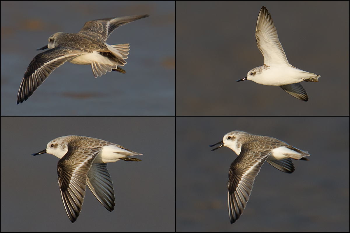 On 3 Oct. 2014 at Yangkou, I achieved rare flight shots of Spoon-billed Sandpiper.