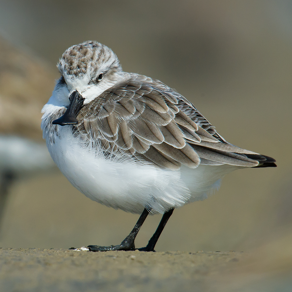 On 6 Oct. 2014, this Spoon-billed Sandpiper was a lonely fellow in a dry roost containing hundreds of waders.