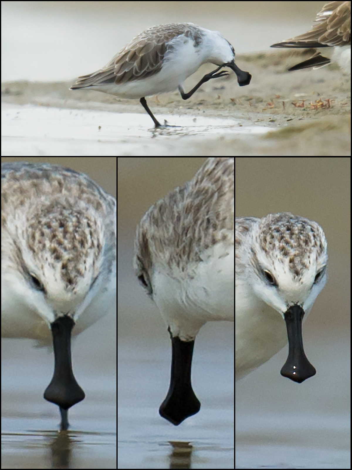 I found a Spoon-billed Sandpiper on 19 Sept. 2012 at Yangkou. Here is a look at the spatulate bill.