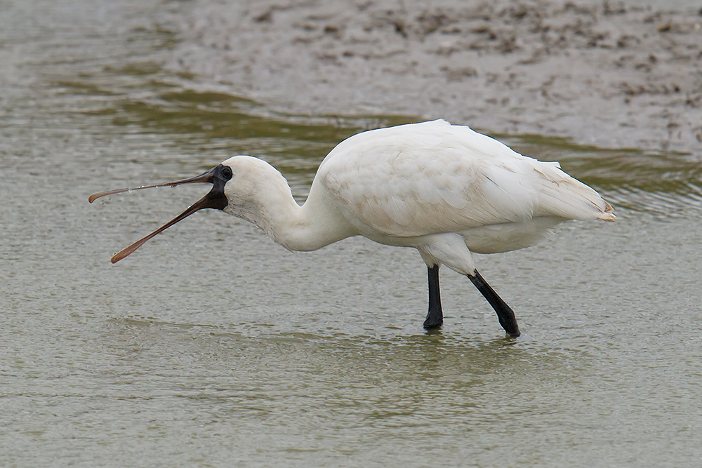 Black-faced Spoonbill, defunct wetland, Nanhui, 29 Oct. 2016. Photo by Craig Brelsford.