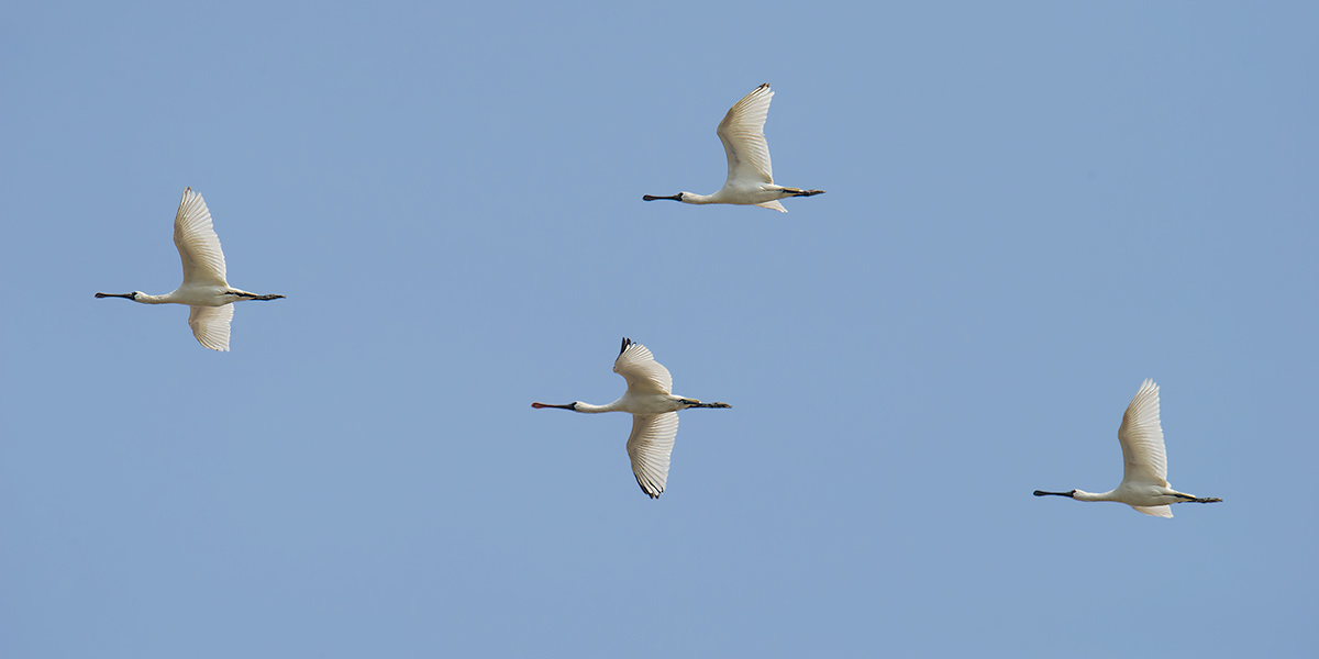 On Thurs. 3 Nov. I found these 4 Black-faced Spoonbill flying over Microforest 4. I found another 55 in the abandoned nature reserve.