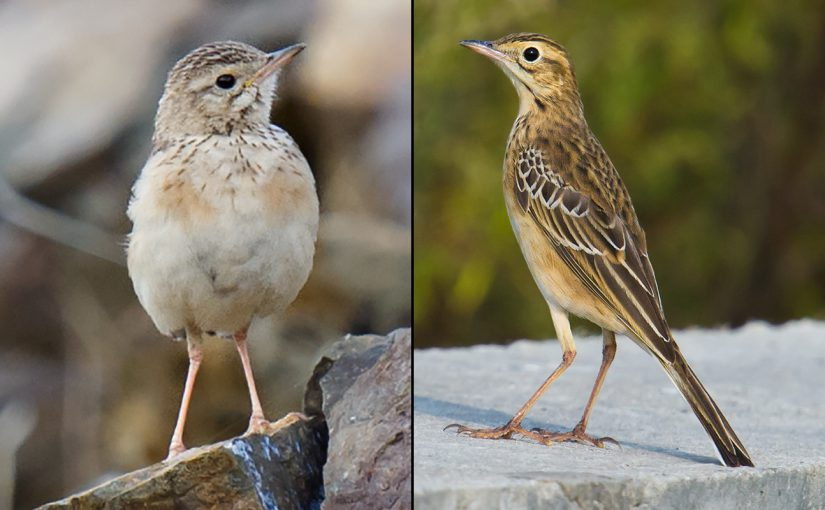 Comparing Blyth's Pipit & Richard's Pipit