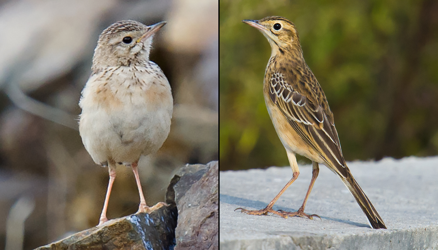 Blyth's Pipit (L) and Richard's Pipit