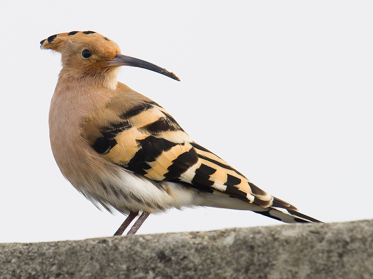Eurasian Hoopoe, sea wall at Cape Nanhui, 27 Nov. 2016. Also seen nearby the following day. Craig Brelsford.