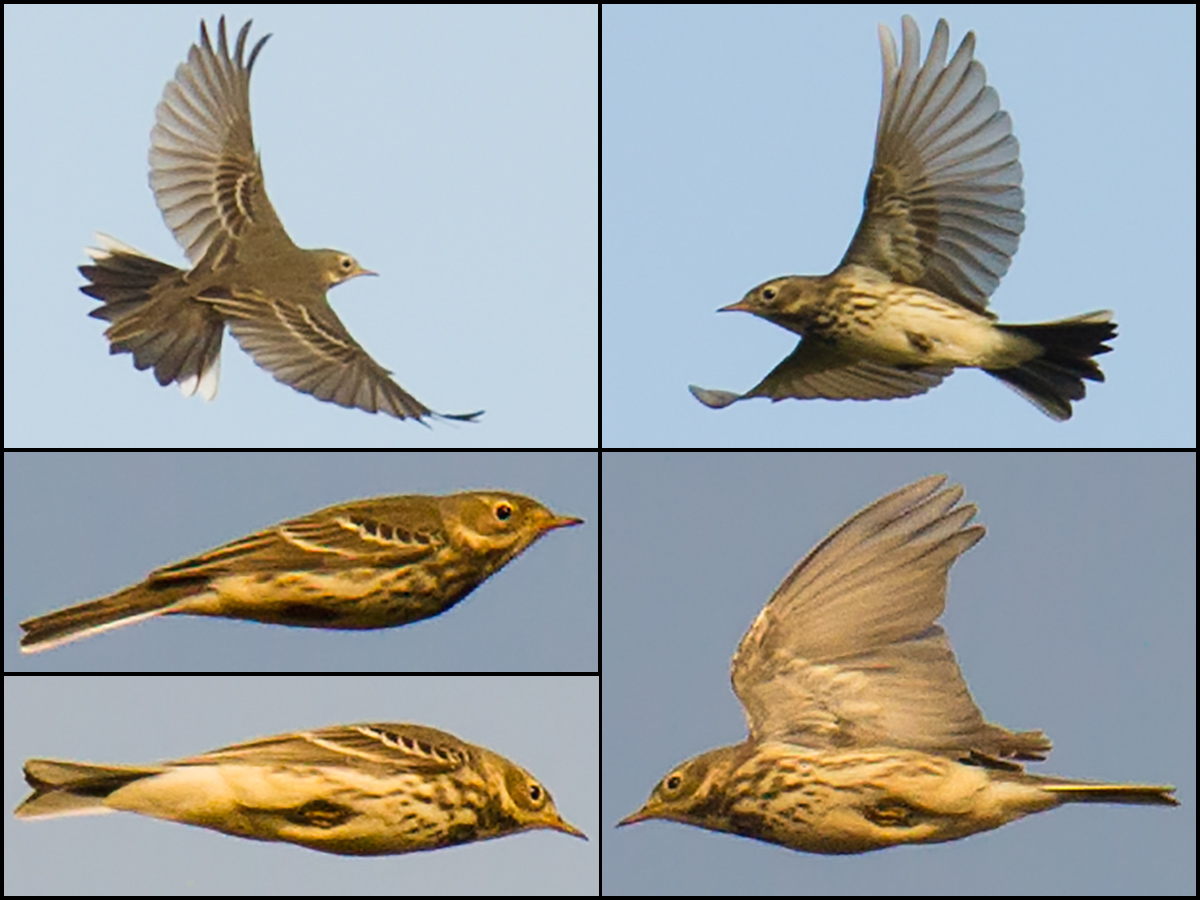 Views of Buff-bellied Pipit in flight. Top 2: 12 Nov. 2016. Bottom 3: 27 Nov. 2016. All taken near the reed beds north of Luchao. Craig Brelsford.