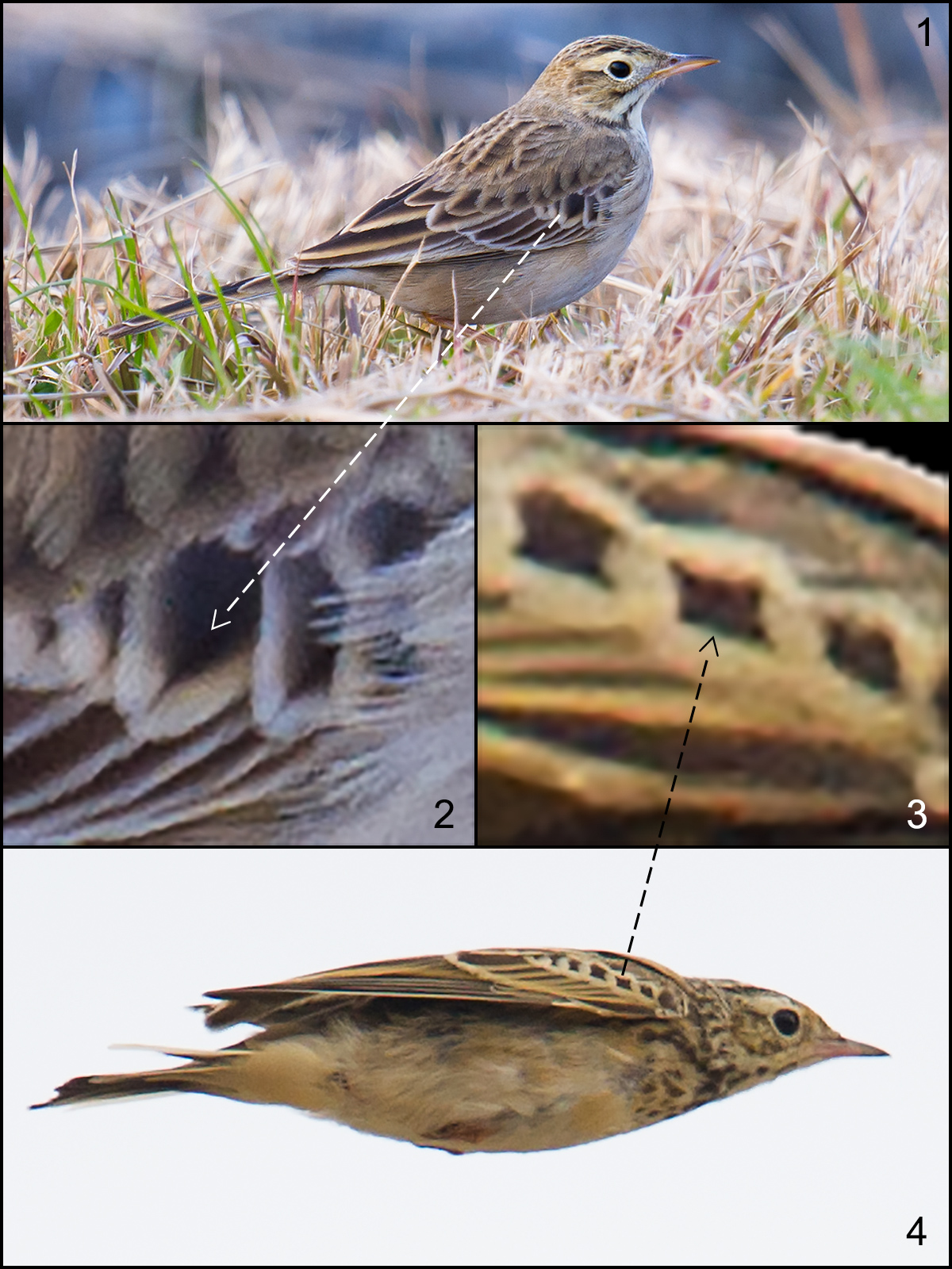 "Comparison of Richard's Pipit Anthus richardi ""sinensis"" (1) and Blyth's Pipit A. godlewskii (4). The putative taxon sinensis occurs in SE China S of the Yangtze and is the smallest population group within Richard's Pipit. Structurally it is similar to Blyth's Pipit. Note however the blackish centers to the median coverts (2, 3). In Richard's (2), the blackish centers are (a) diamond-shaped and (b) a bit fuzzy at the edges. In Blyth's (3), the blackish centers are squarish and more clearly defined. For years, Shanghai birders have been looking out for extralimital Blyth's Pipit. They are extremely rare or non-existent in the area. 1, 2: Nanhui, Shanghai, China, 15 Dec. 2016. 3, 4: Hulunbeier, Inner Mongolia, China, 22 July 2015. Craig Brelsford."