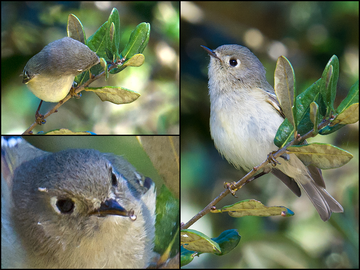 Ruby-crowned Kinglet searches for tiny arthropods very much in the manner of its Eurasian cousin Goldcrest.