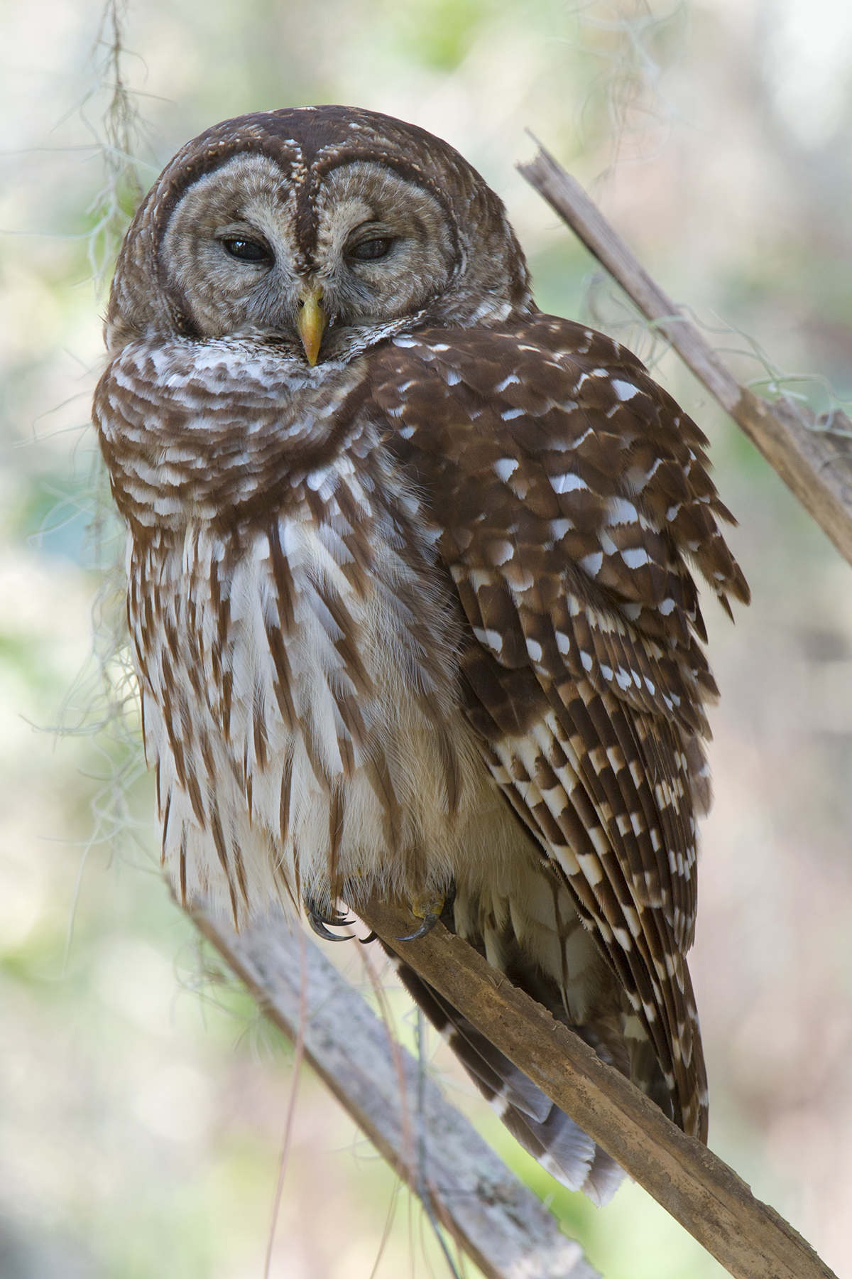 Sleepy Barred Owl at Gemini Springs, 28 Jan.