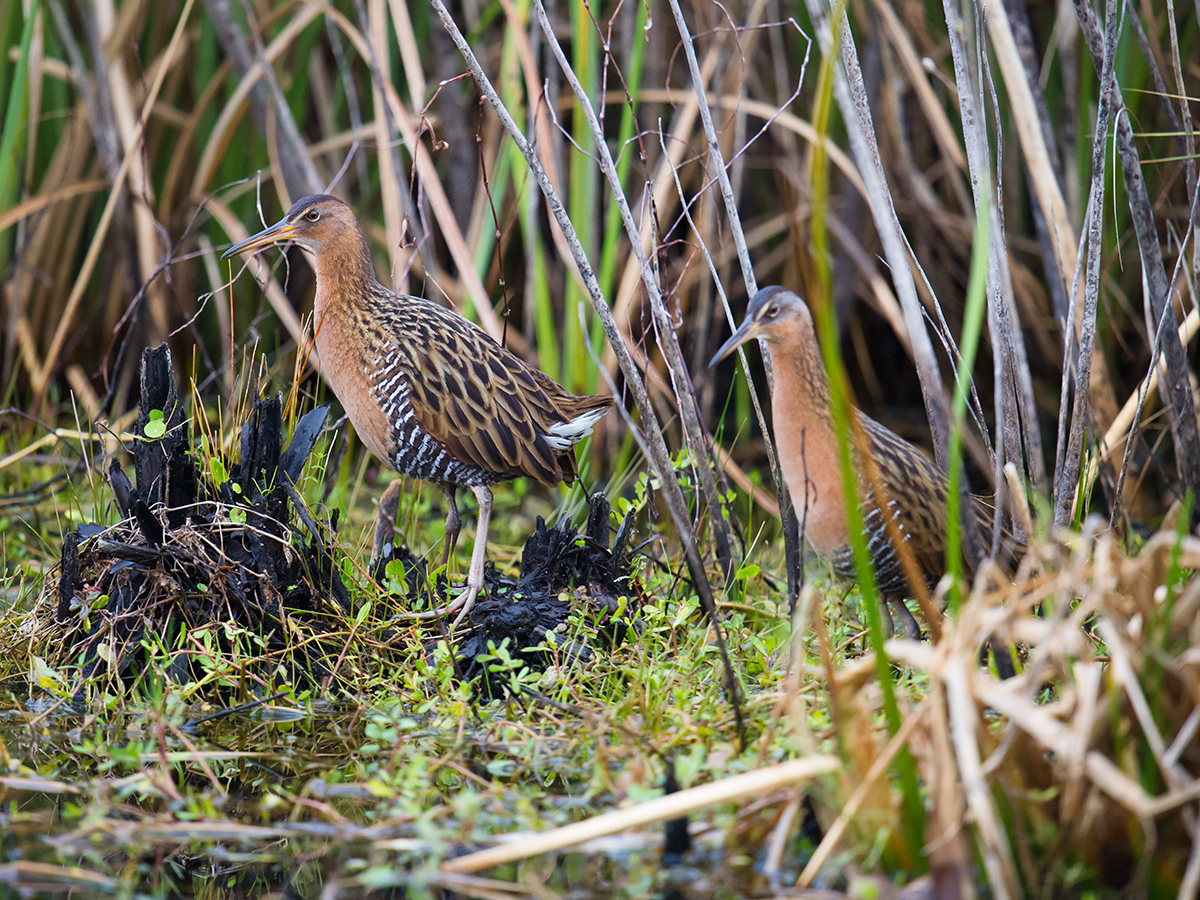 King Rail Rallus elegans, © Craig Brelsford (craigbrelsford.com, shanghaibirding.com). 26 Jan. 2017. Lake Woodruff Nat'l Wildlife Refuge, Volusia County, Florida, USA. 29.106747, -81.372567.