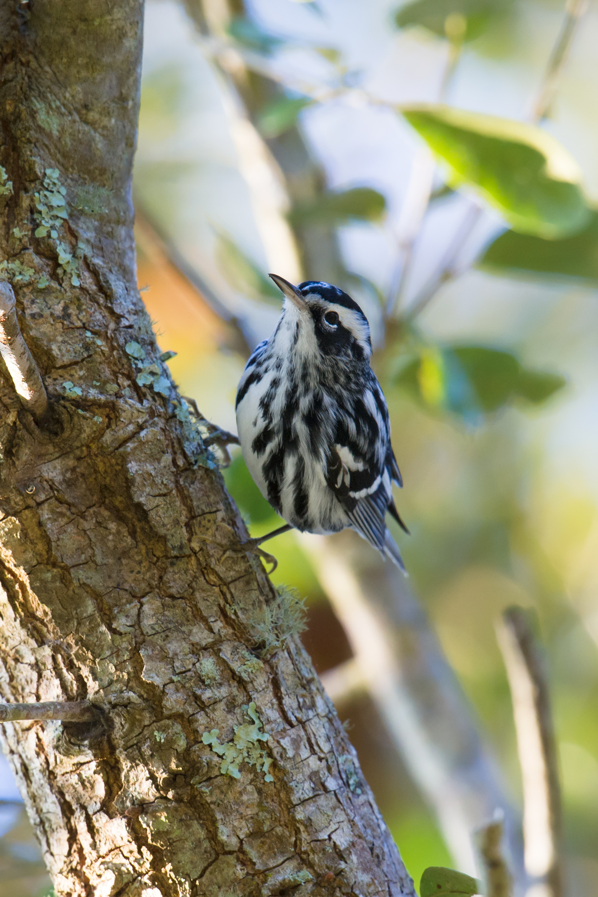 Black-and-white Warbler, Gemini, 28 Jan.
