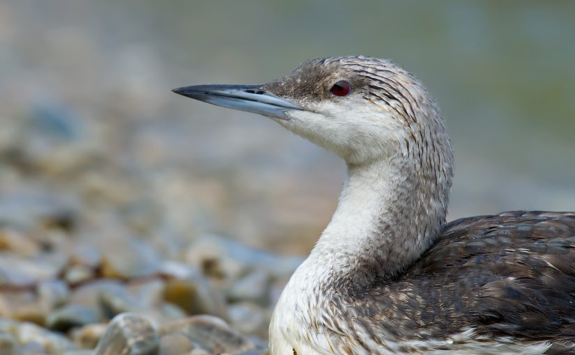 Black-throated Loon Gavia arctica, Laotieshan, Liaoning, China (38.730483, 121.134018). 18 Sept. 2013. By Craig Brelsford.