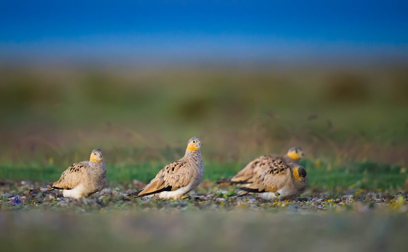 One of our most memorable ticks during our summer in Qinghai was Tibetan Sandgrouse, found at Hala Lake on 10 Aug. 2016. (Craig Brelsford)