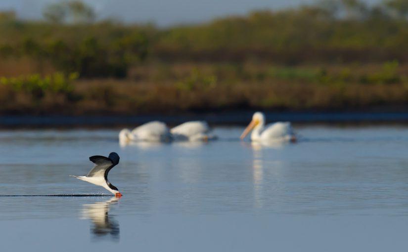 Black Skimmer with American White Pelican in background, Merritt Island National Wildlife Refuge, Brevard County, Florida, USA. 3 Feb. 2017.