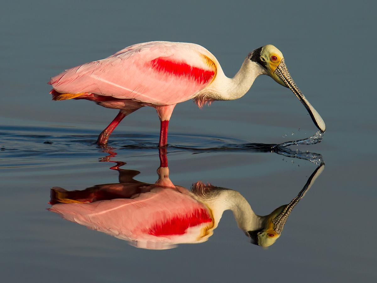 Roseate Spoonbill Platalea ajaja, Merritt Island National Wildlife Refuge, Brevard County, Florida, USA, 3 Feb. 2017. © 2017 by Craig Brelsford (www.craigbrelsford.com, www.shanghaibirding.com).