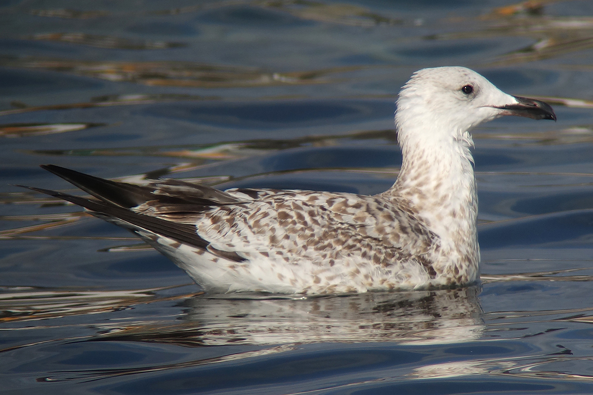 First-winter Mongolian Gull Larus mongolicus, October 25th, Pohang, Republic of Korea. Nial Moores.