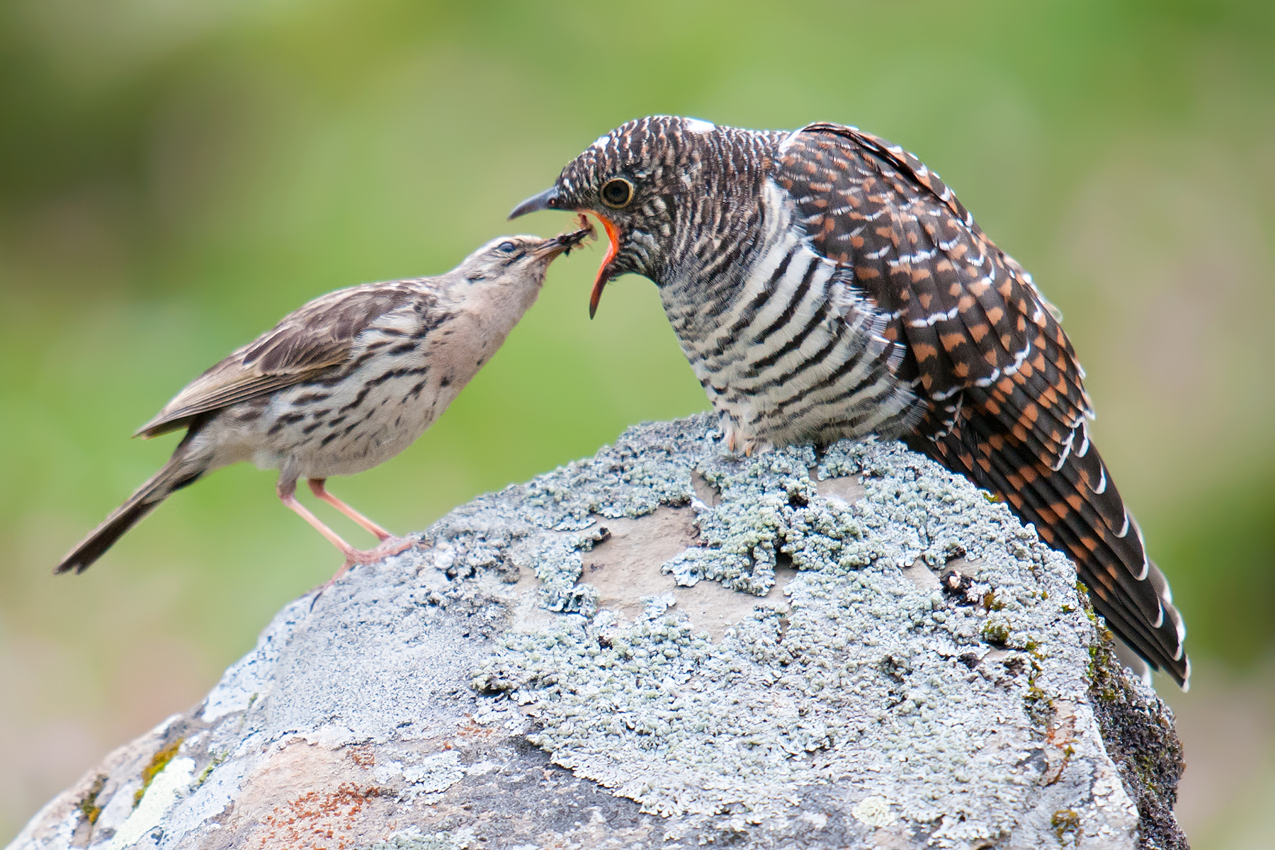 Juvenile Cuculus cuckoo