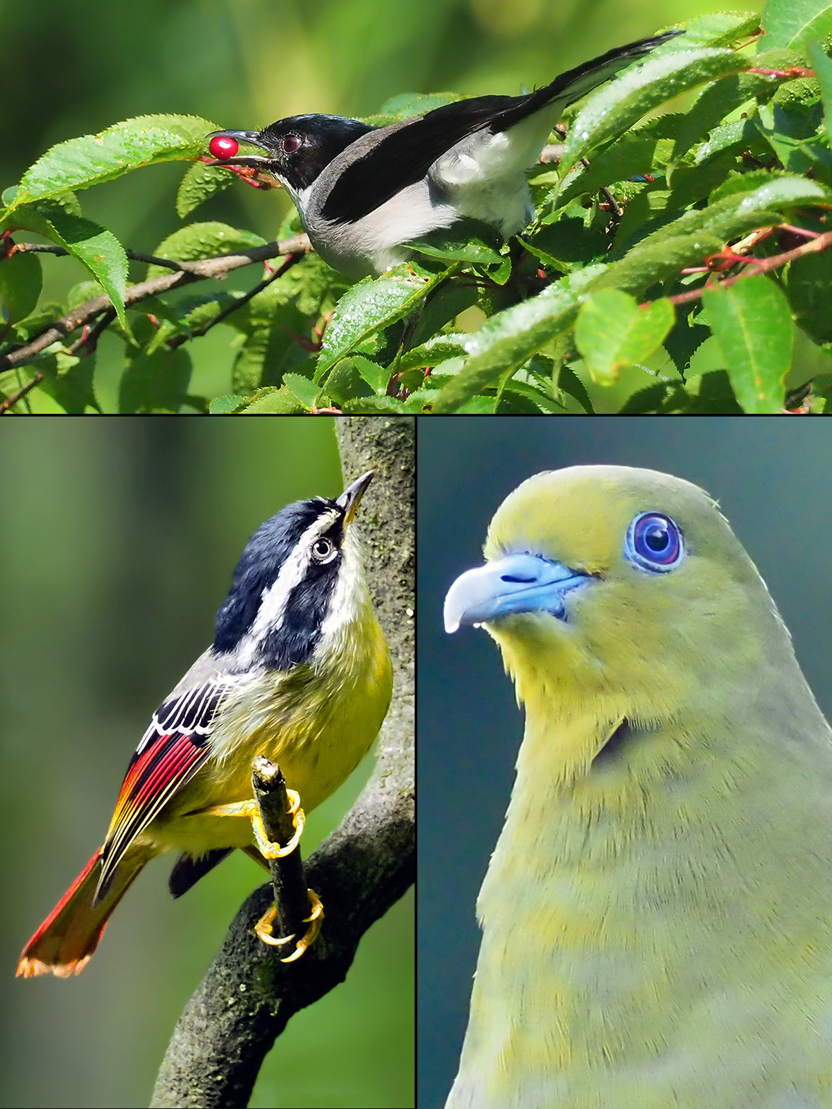 Birds of Jinfoshan forests