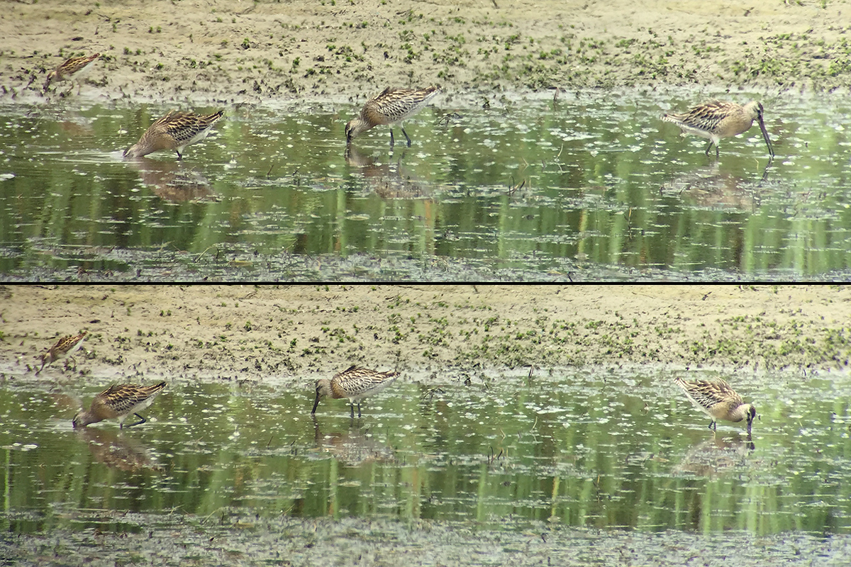 Asian Dowitcher through the spotting scope and recorded by my iPhone 6. 5 Aug. 2017. (Craig Brelsford)