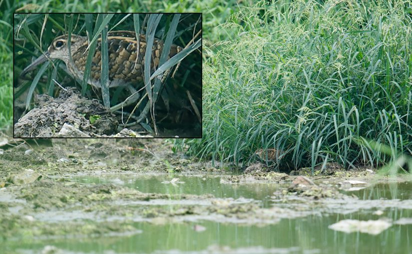 Greater Painted-snipe at Nanhui, Spoon-billed Sandpiper in Jiangsu
