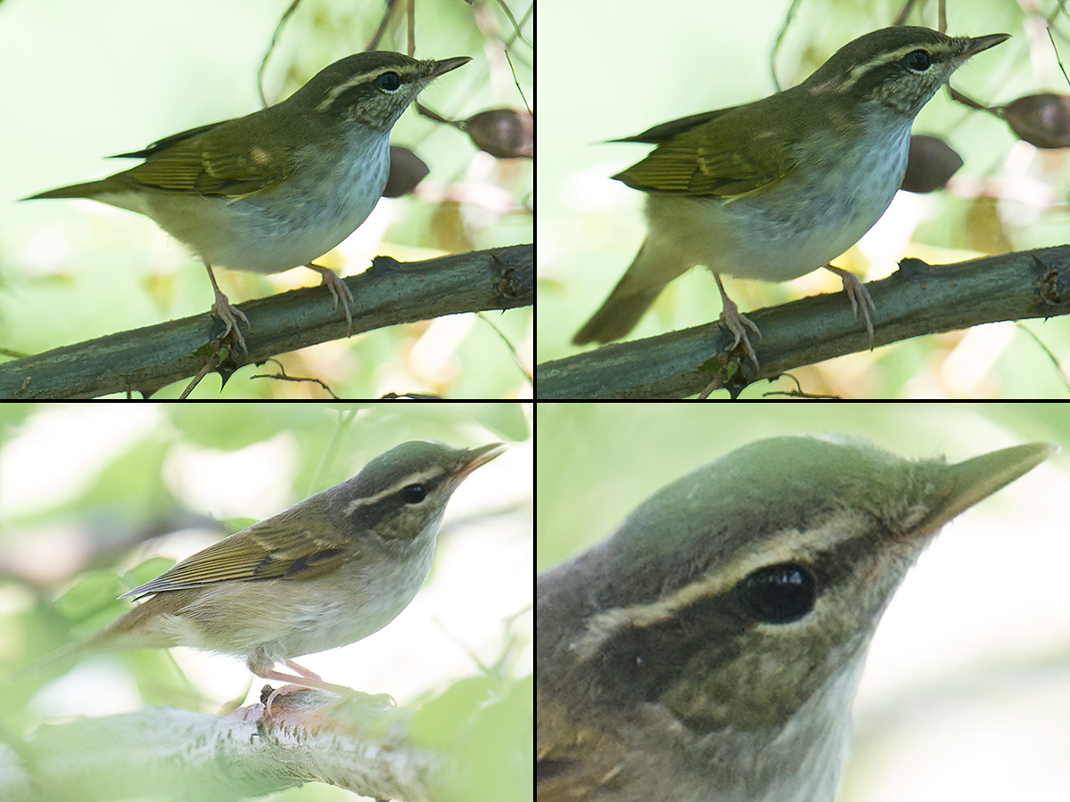 "Pale-legged Leaf Warbler Phylloscopus tenellipes pumping its tail vigorously while remaining otherwise motionless and while standing (as is its wont) on a thick branch (top panels); and a second individual making its high-pitched ""tink"" call (bottom panels). Microforest 4 (30.953225, 121.959083, top panels) and Microforest 1 (30.923889, 121.971635, bottom panels), Cape Nanhui, Pudong, Shanghai, China, 27 Aug. 2017."