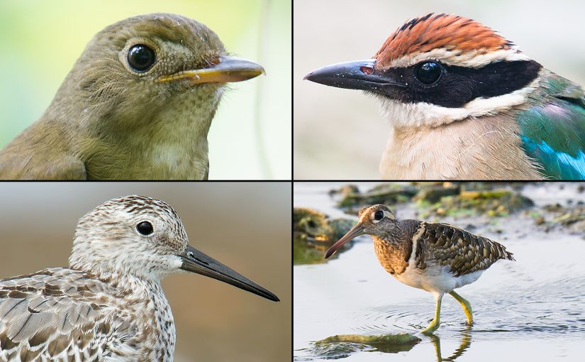 Birds of late summer 2017 at Pudong's Cape Nanhui: Clockwise from top left, Brown-chested Jungle Flycatcher, Fairy Pitta, Greater Painted-snipe, and Great Knot. (Craig Brelsford)
