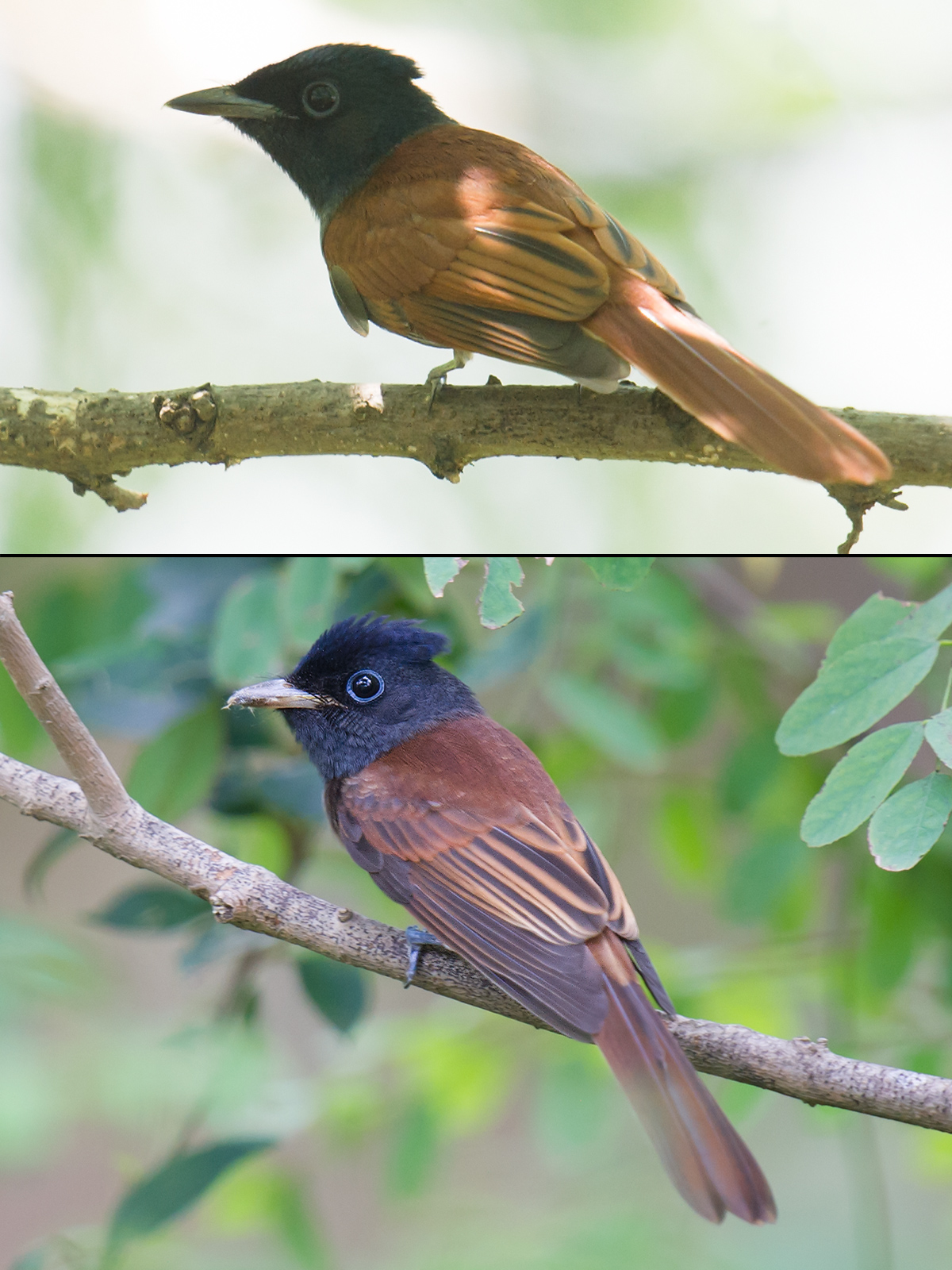 Amur (top) and Japanese Paradise Flycatcher, Aug. 2017, Cape Nanhui. (Craig Brelsford)