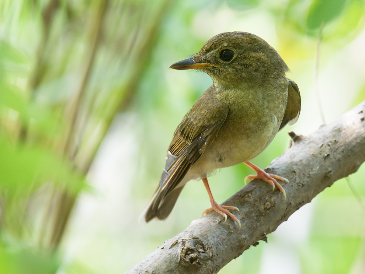 Brown-chested Jungle Flycatcher, Cape Nanhui, 4 Sept. 2017. (Craig Brelsford)