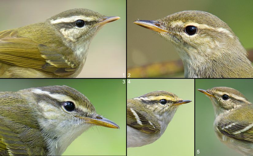 Pale-legged Leaf Warbler & the Shanghai Big 5