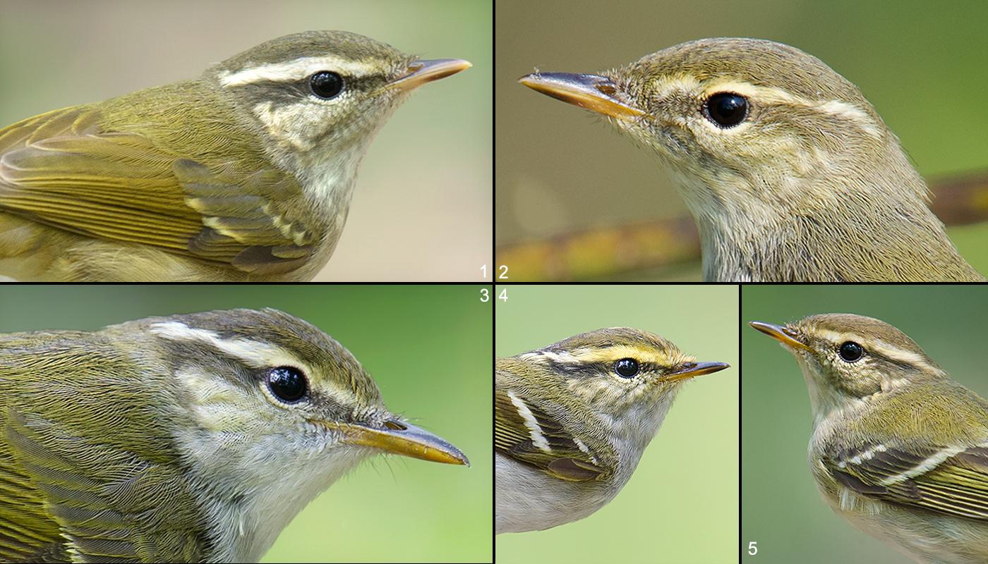 Shanghai's Big 5 Leaf Warblers: Pale-legged Leaf Warbler (1), Arctic Warbler (2), Eastern Crowned Warbler (3), Pallas's Leaf Warbler (4), and Yellow-browed Warbler (5).