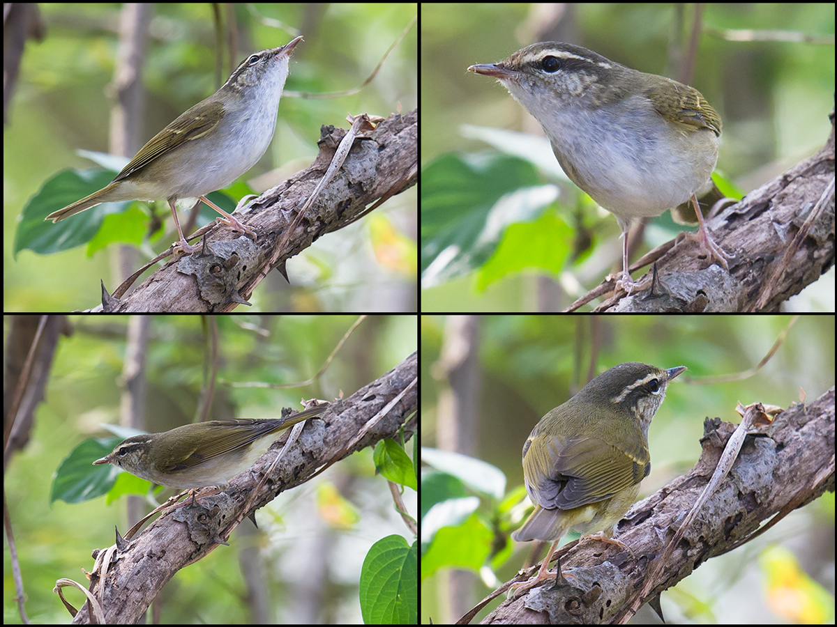 Pale-legged/Sakhalin Leaf Warbler on thick branch.