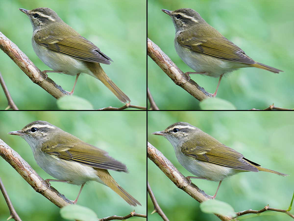 Sakhalin Leaf Warbler, Microforest 1, Cape Nanhui, Pudong, Shanghai, China, 17 Sept. 2017. (Craig Brelsford)