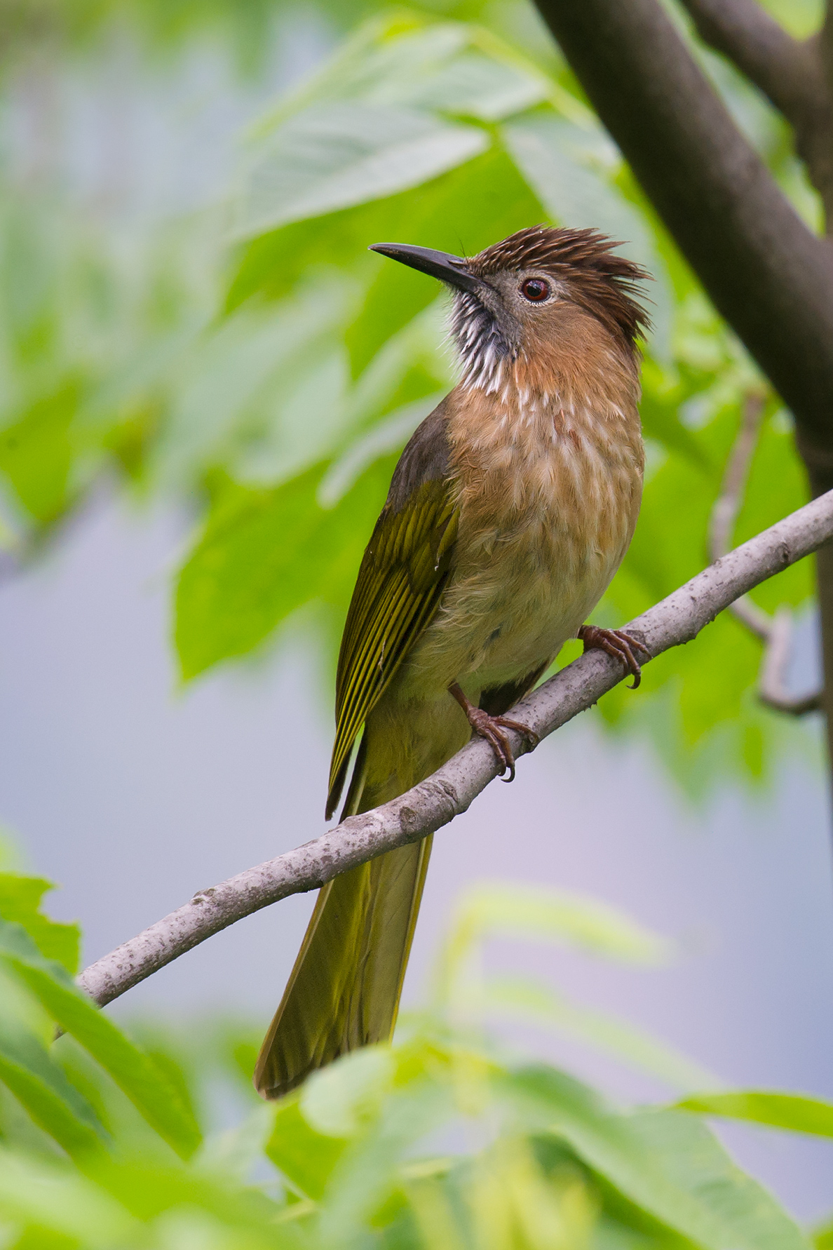Mountain Bulbul, East Tianmu, 8 May 2015. (Craig Brelsford)