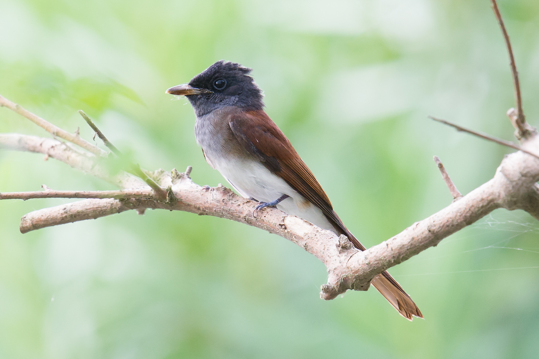 Japanese Paradise Flycatcher, Nanhui, 11 Oct. This is a female showing a clear demarcation between hood and white belly, faint rufous flanks, and a dark mantle showing little rufous coloration. For more on how to ID paradise flycatchers, see our post.