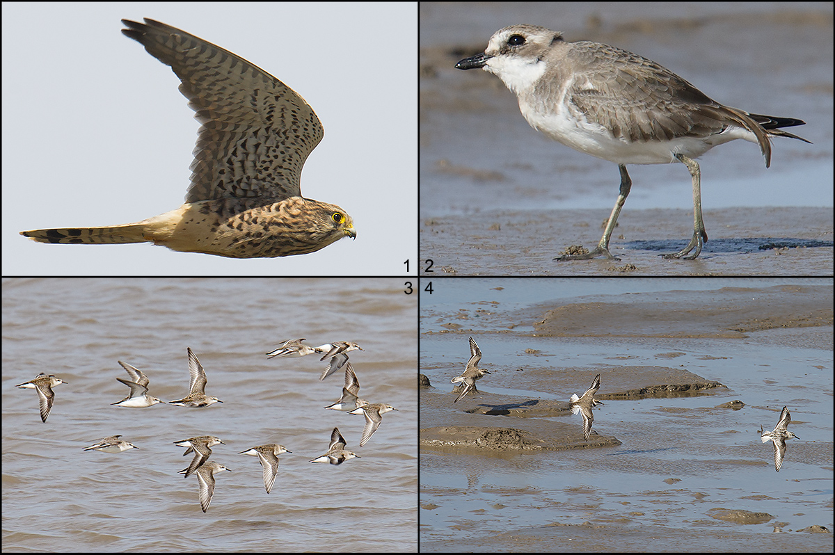 Hengsha highlights, 11 Oct. 2016: Lesser Kestrel (Panel 1), Lesser Sand Plover (2), Red-necked Stint (3), and Lesser Sand Plover, Kentish Plover, and Sanderling (4).